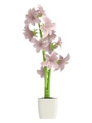 Pink Hippeastrum flowers