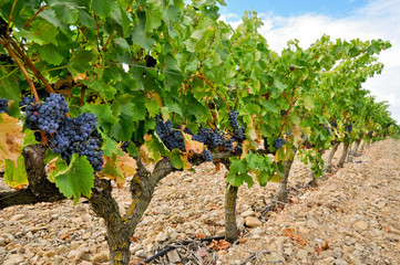 Grapes in a vineyard, La Rioja (Spain)
