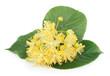 fresh lime flowers