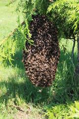 Bienenschwarm in Thujastrauch