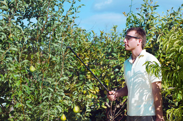 Young man gardener spraying pear trees in the orchard