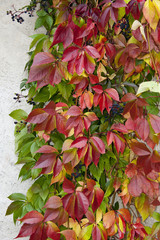 red autumnal wild fox wine plant on a wall