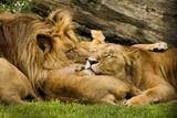 Fototapeta Sawanna - lions © Radoslaw Maciejewski