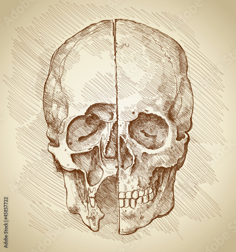 Skull. Section. Based on drawing of Leonardo da Vinci