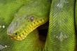 Emerald tree boa / Corallus caninus