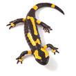 poisonous animal fire salamander