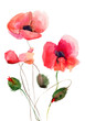Quadro Stylized Poppy flowers illustration