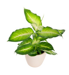 Dieffenbachia. House plant in a pot. isolate