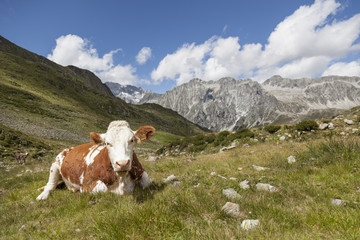 Brown cow resting on mountain pasture.