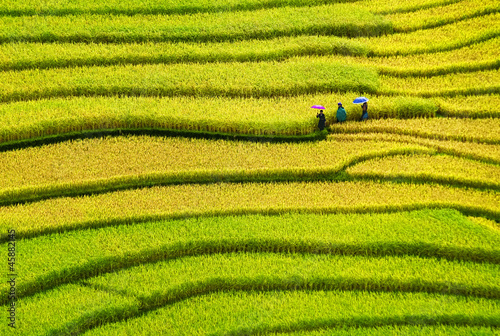 Rice filed of terraces , Yen bai, viet nam.