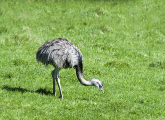 Greater Rhea grazing