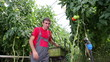 Farmer Picking Tomato in Commercial Greenhouse