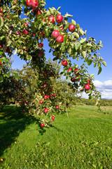 Reiche Apfelernte