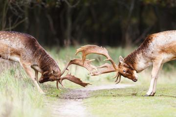 fighting fallow deer during the rutting season