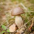 kozak koźlarz grzyb grzyby las rośnie naturalne w lesie
