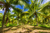 Field of coconut trees