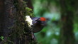 chesnut-crowned laughing thrush bird eating banana
