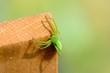 Green Spider (Micrommata virescens)