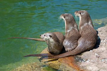 Drei Otter