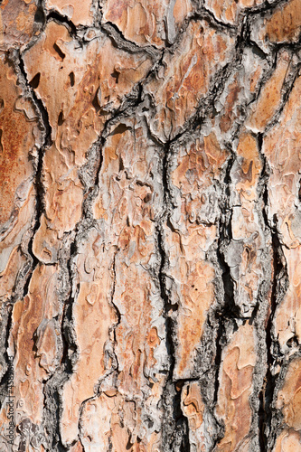 pine tree bark background