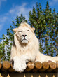 White Lion Posing on Sunny Wooden Platform Panthera Leo