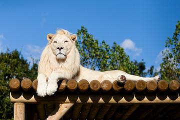 White Lion lying on Wooden Platform in the Sunshine