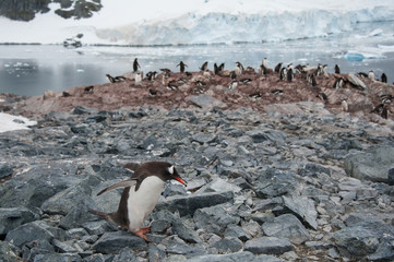 Gentoo penguin walking, Antarctica