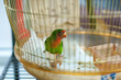 colorful parrot in home cage