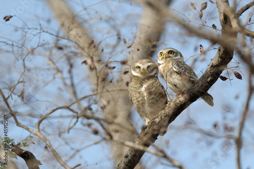 Two spotted owls in a tree between branches;