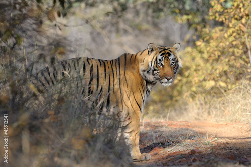 Bengal Tiger standing in forest.
