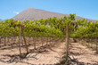 Vineyard at Elqui valley, Chile