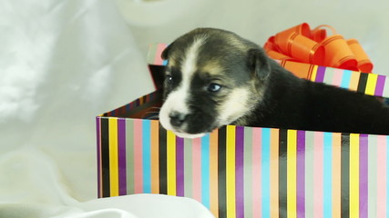 the puppy looks out of gift boxes