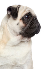 Pug dog, side portrait