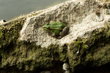 Green Frog on a stone