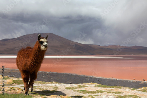 Lama at Colorado Lagoon, Bolivia