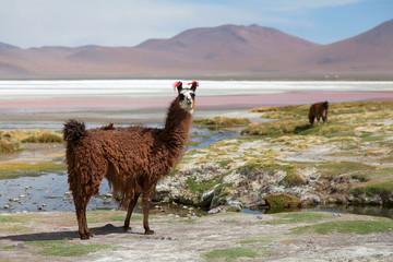 Lama at Colorado Lagoon, Bolivia