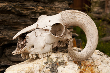 White goats skull with curly horns