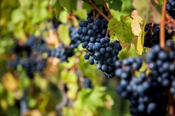 Rotwein-Trauben im Abendlicht