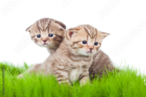 Fototapeta two british kittens on grass