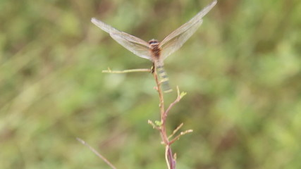 Back view of dragonfly in windy day