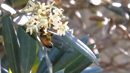Bee collecting Pollen from Olive tree flowers