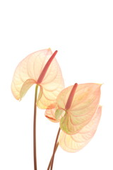 Pink Anthurium on white background with copy space