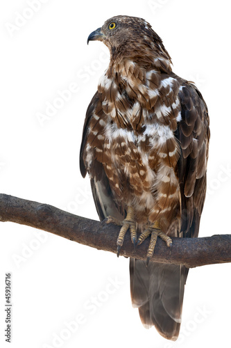 isolated falcon on tree branch