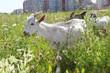 three goats graze near high buildings in city