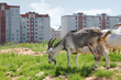 two goats graze near high buildings in city