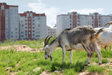 two goats graze near high buildings in city