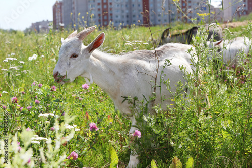 three goats graze near high buildings in city