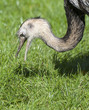 Close up of a Greater Rhea Eating