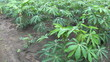Young Cassava Crop-slow tilt up