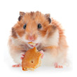 Hamster eat cookie